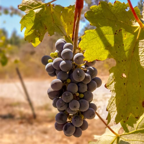 A Summer Harvest of Grapes Ripening on the Vine