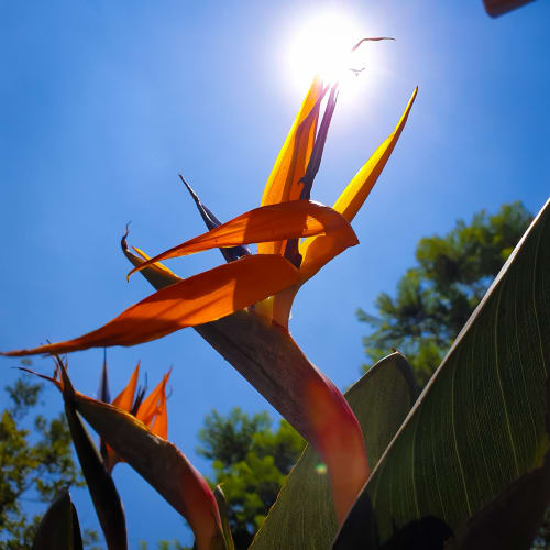 A Bird of Paradise Flower Glowing in the Afternoon Sunlight