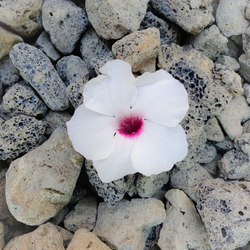 A Fallen Flower Laying in the Rough Rocks