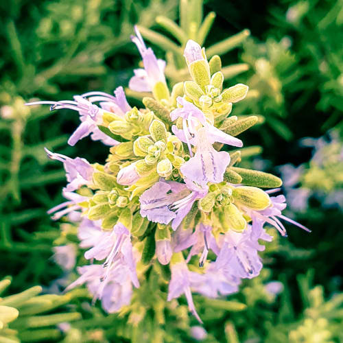A Closeup of a Rosemary Plant in Bloom