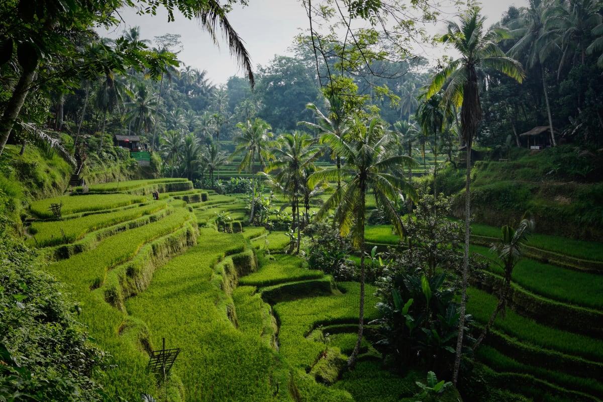 Grüne Reisfelder Terassen in Süd Ost Asien