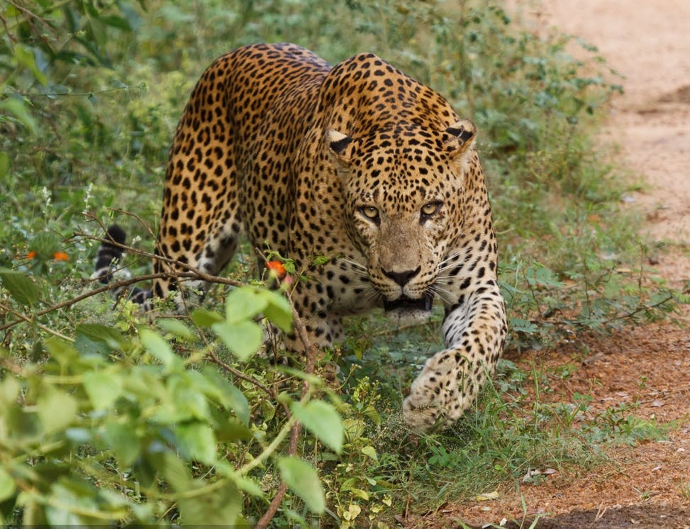 Sri Lankanischer Leopard im Yala National Park