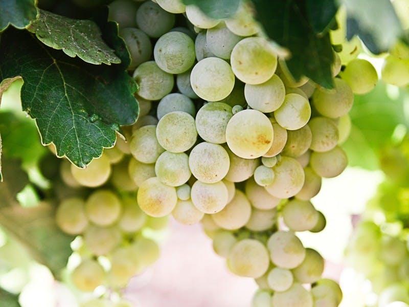 Weintrauben in Spanien zu Silvester