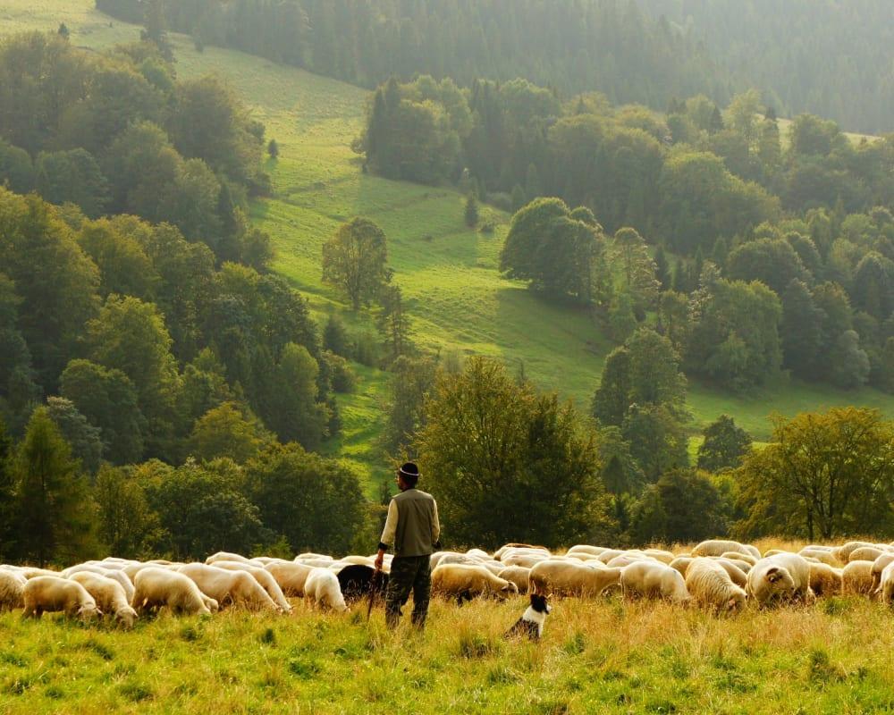 Schäfer mit einer Schafherde auf einer grünen Wiese