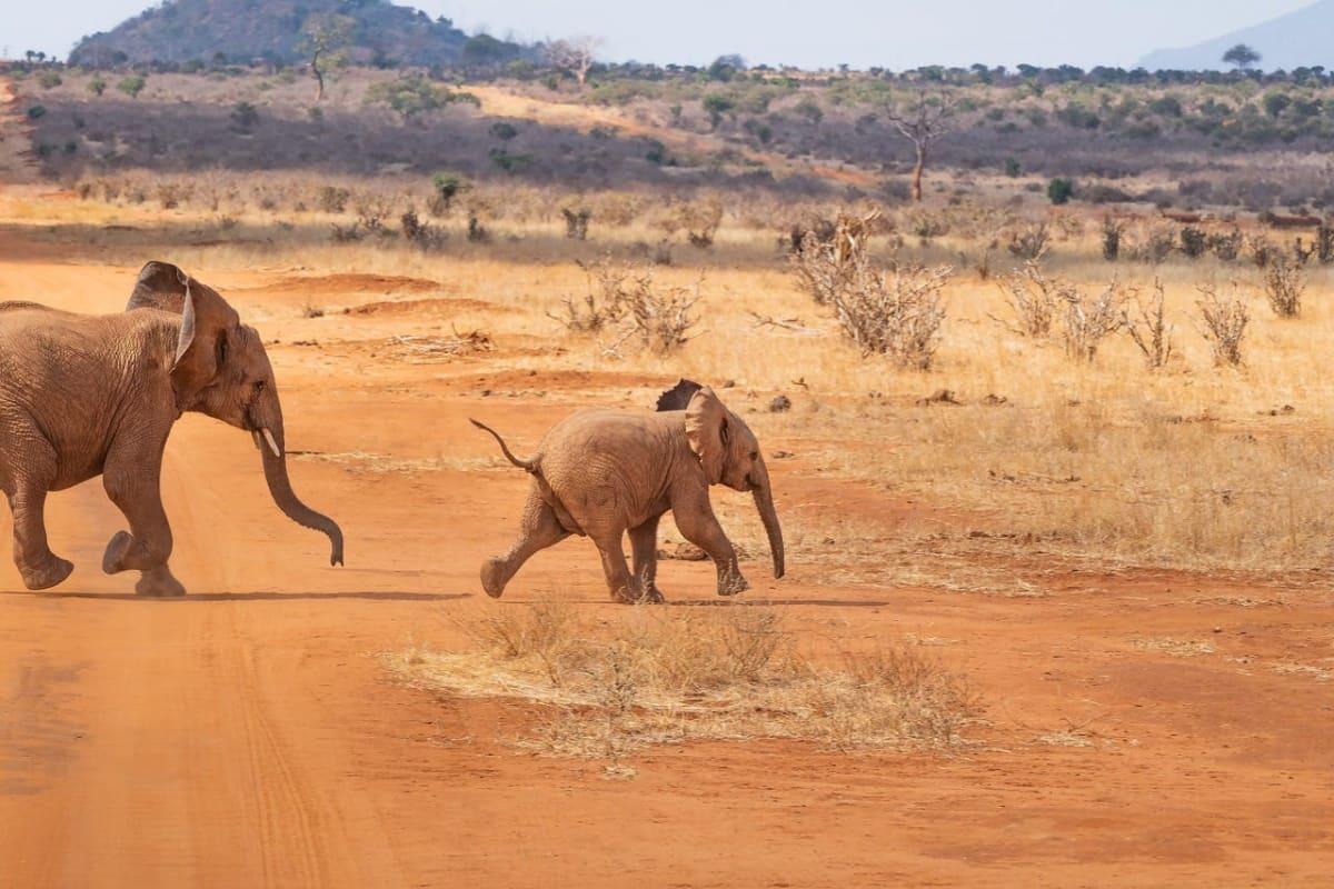 Babyelefant und größerer Elefant laufen von links durch die kahle Savanne