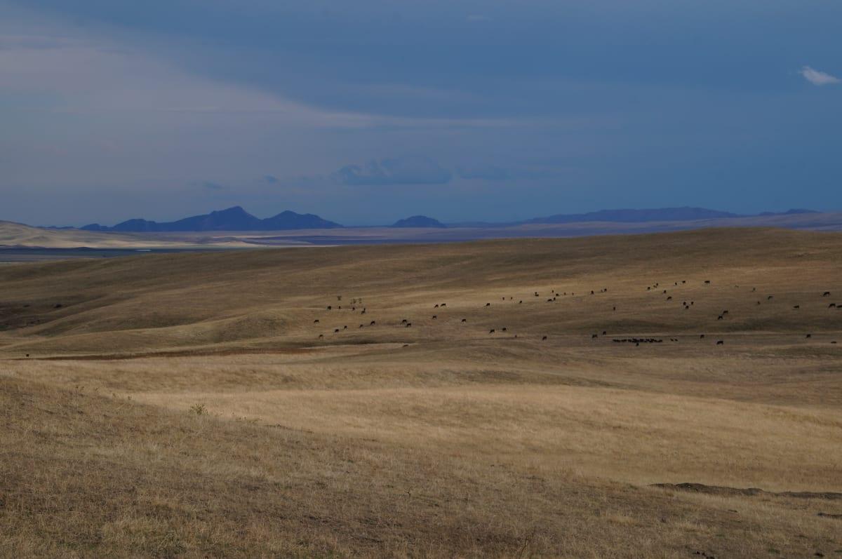 Kühe am grasen im Grenzbegiet zwischen Georgien und Azerbajschan