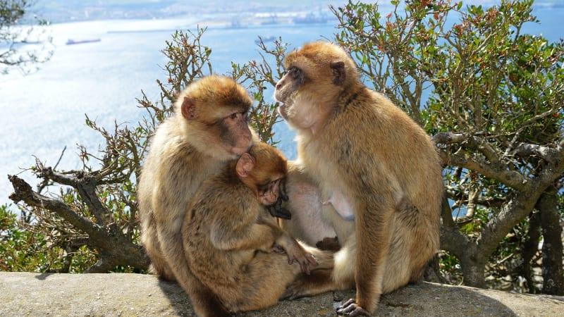 Apor i Gibraltar