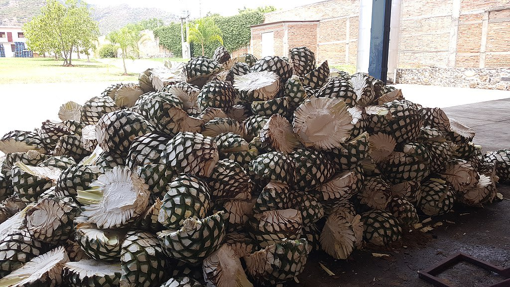 Maguey pineapples