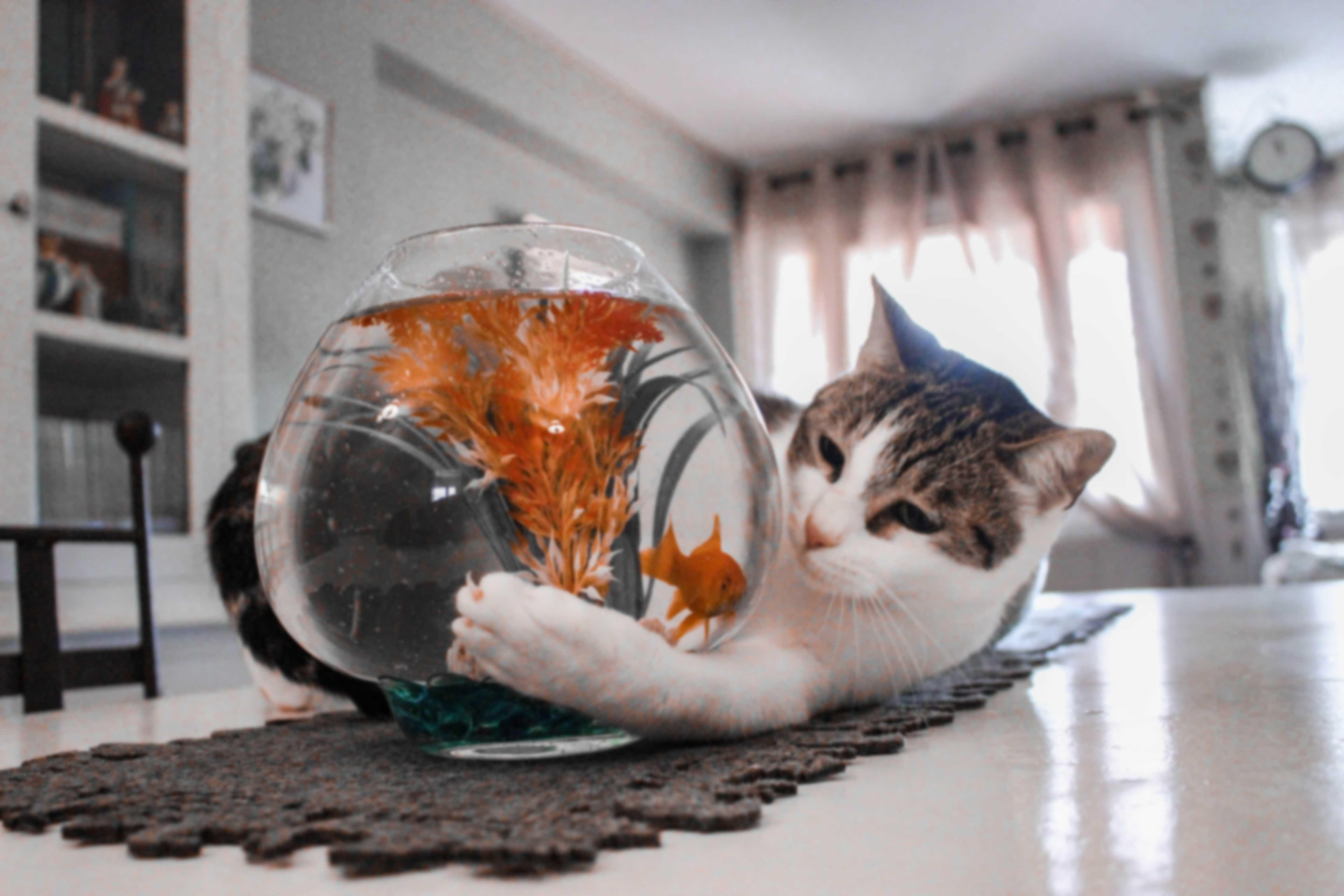 cat looking at fish in bowl