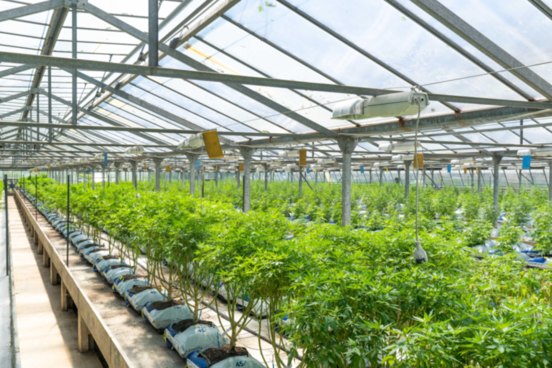 can I grow hemp in the UK?