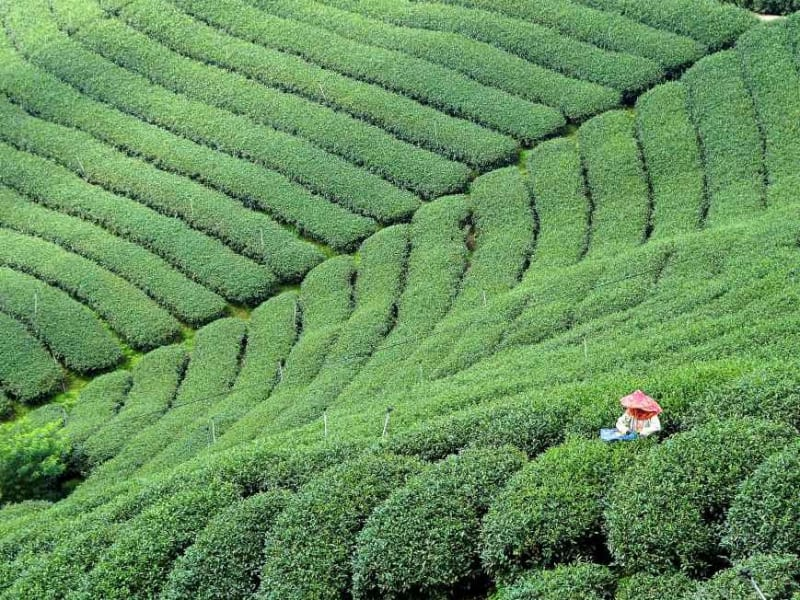 Day 2: Experience lush green tea plantations