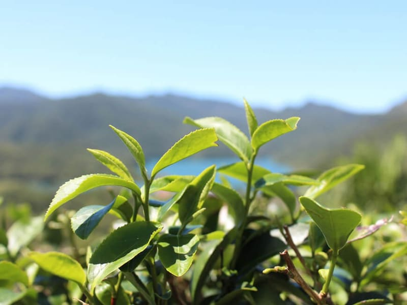 お茶畑を眺望する(※画像はイメージです)