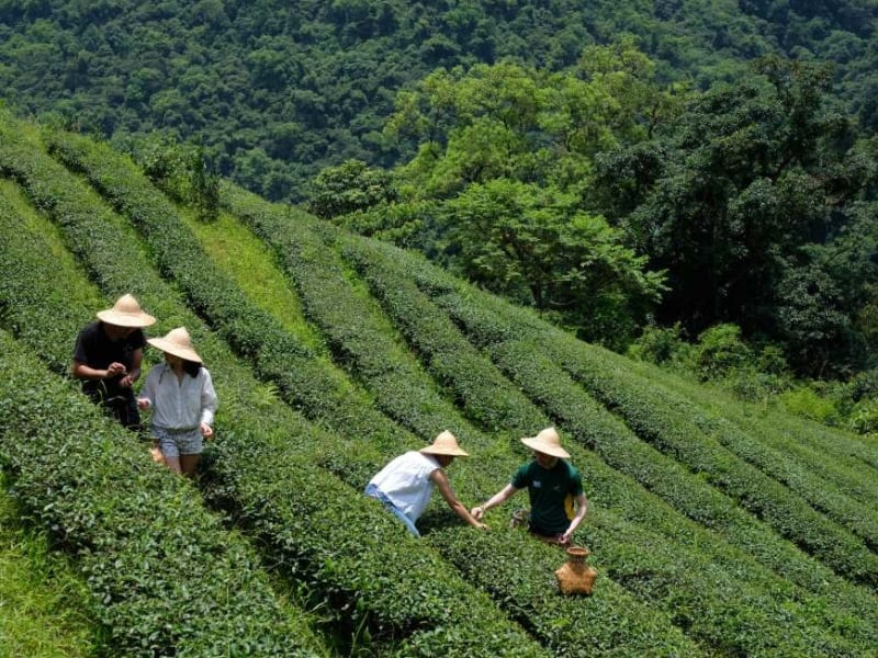 Pick tea leaves with a local farmer