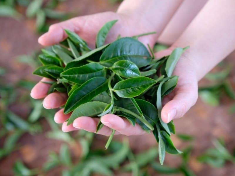 茶畑で農家の方と一緒に手作業で茶葉を摘み取ります