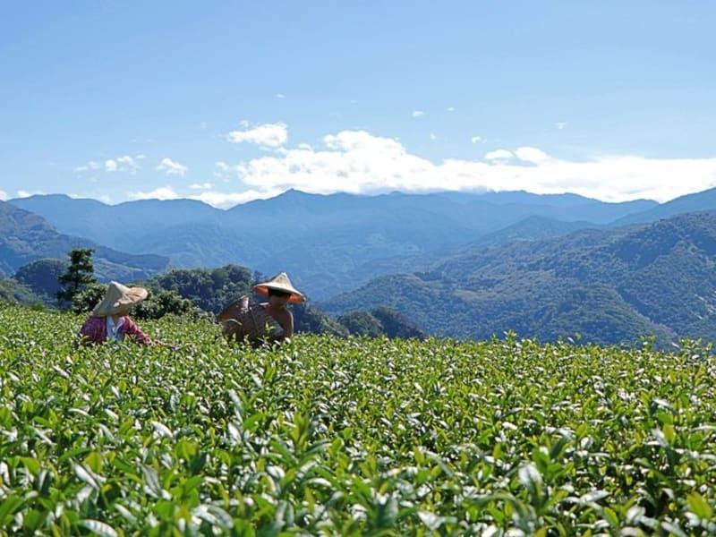 High mountain tea picking
