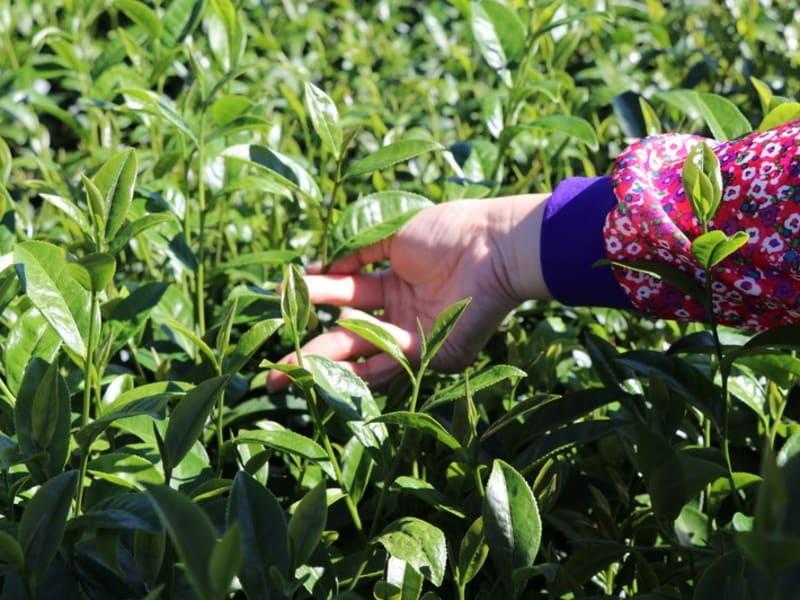 Tea Leaf pick