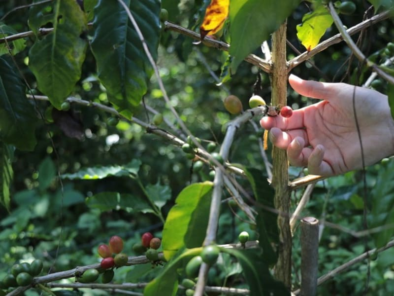 Natural farming coffee farm in Taiwan's East coast.