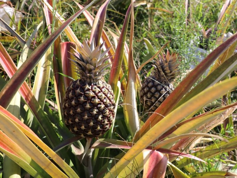 Local pineapple