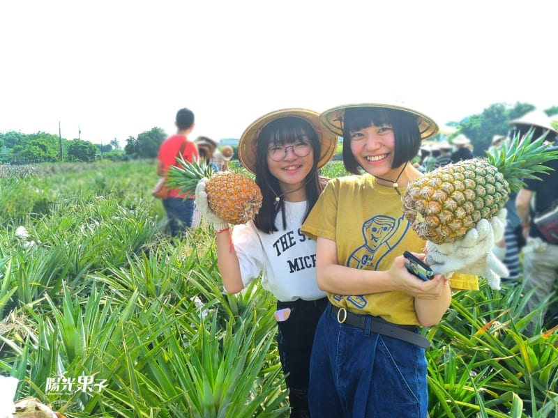 Picking up fresh pineapple by yourself
