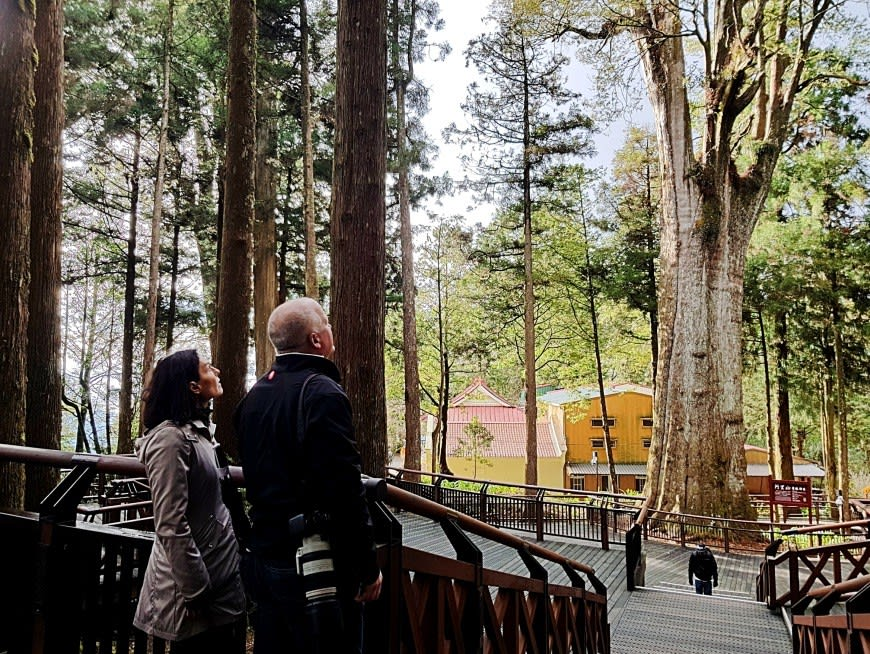 Wander among ancient cypress trees in the high altitude forest of Alishan