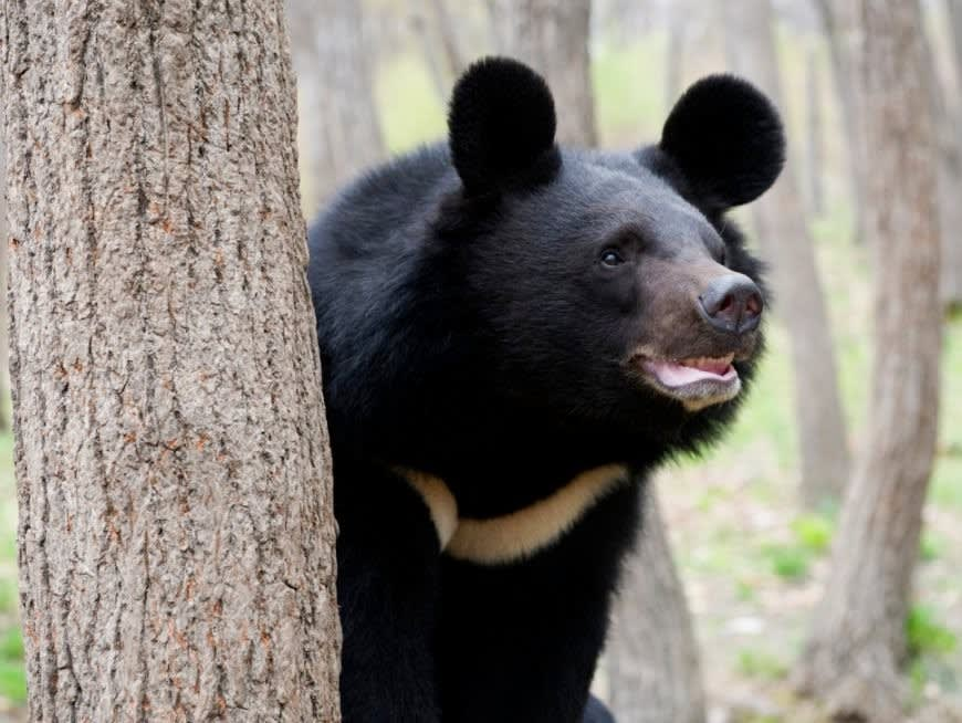 Learn about the Formosa Bear, Taiwan's national animal