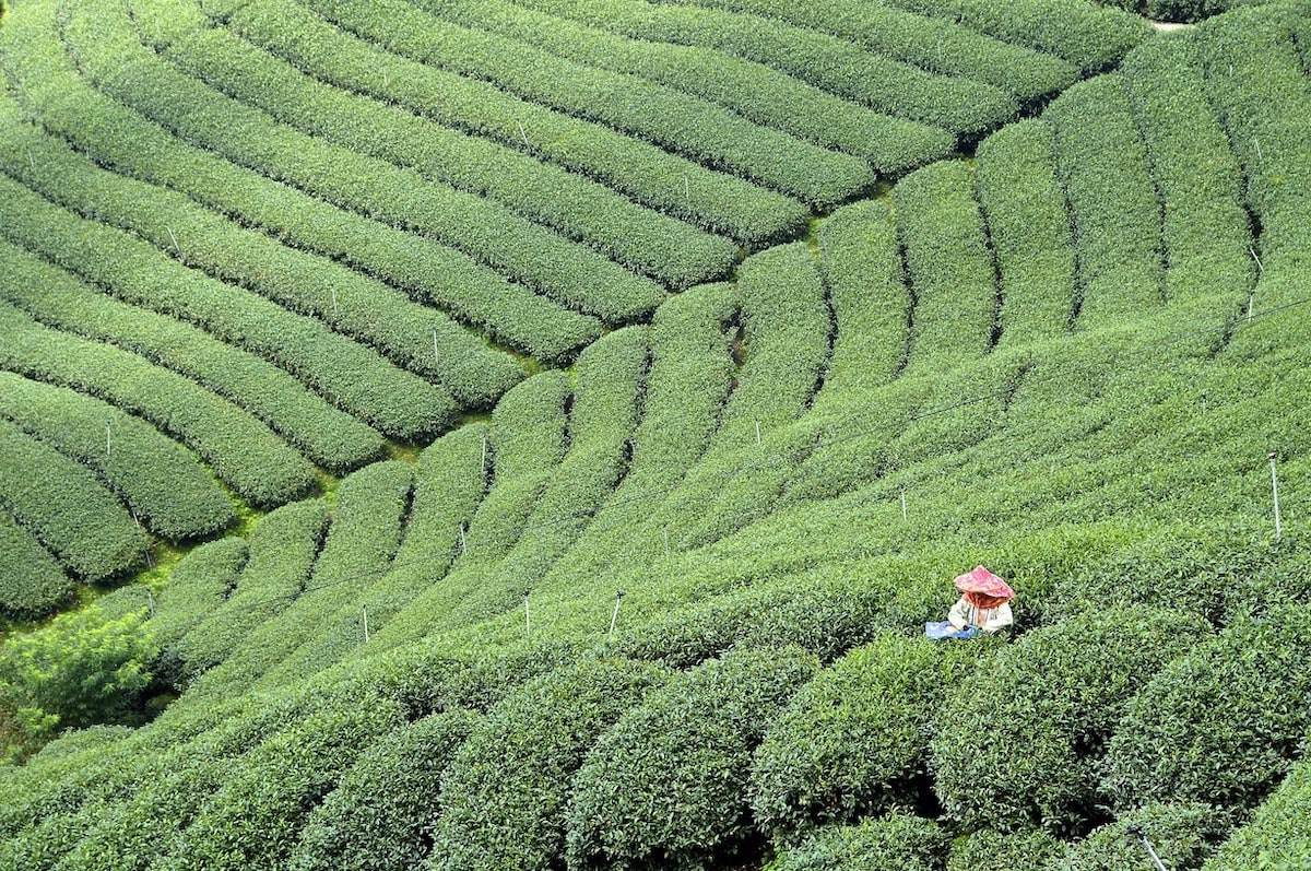 Experience a rare and up-close opportunity to learn about tea cultivation