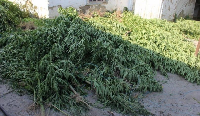 Ağdaşda narkotik tərkibli bitkilər becərən şəxs saxlanılıb