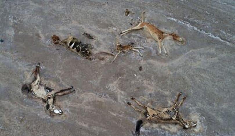 Anomal istilər Qazaxıstan çöllərini heyvanlar üçün məzarlığa çevirdi