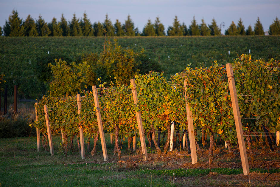 vinograd šime lugarov vino