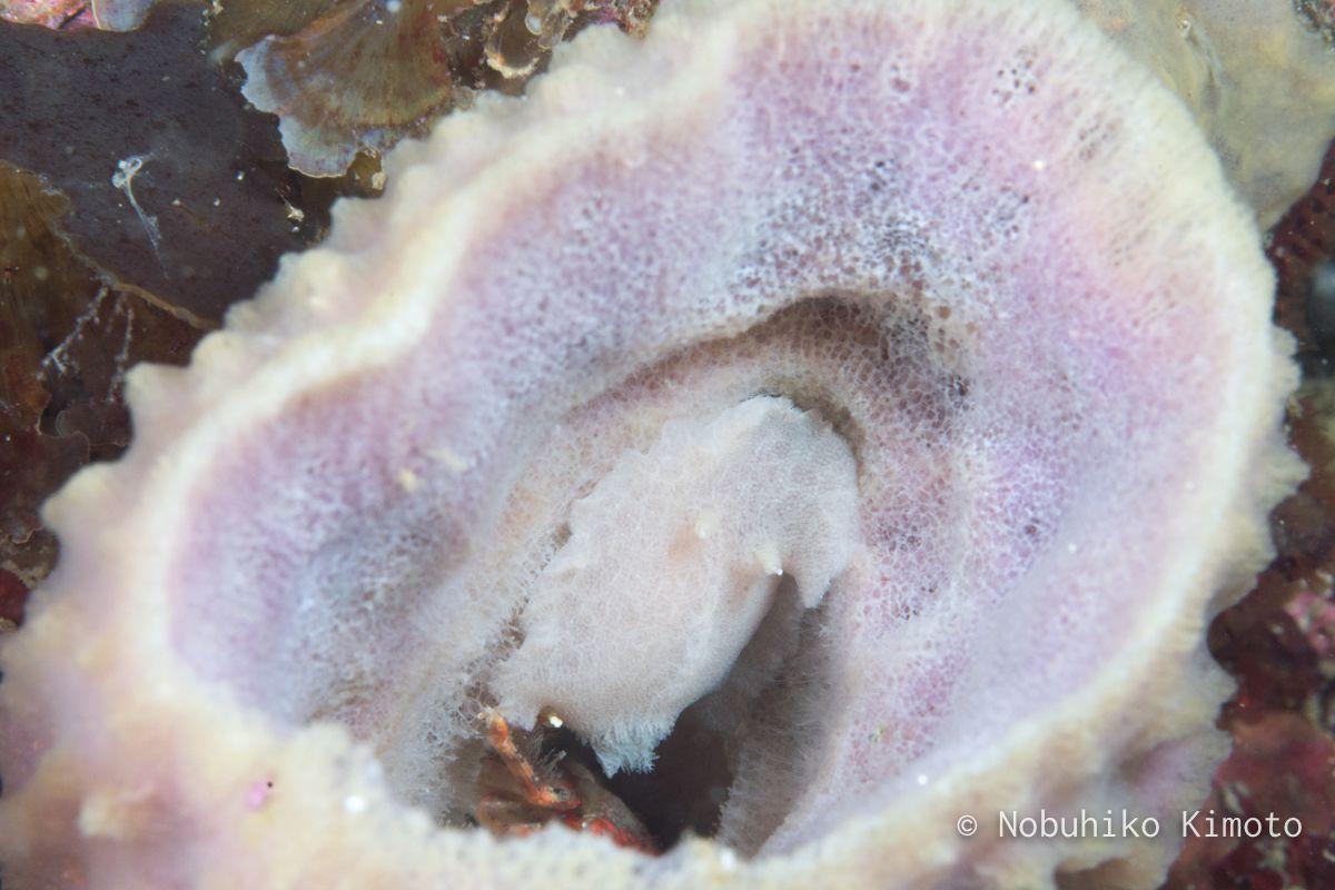 シロサメハダウミウシ