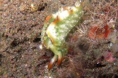 ゴクラクミドリガイ属の一種 7