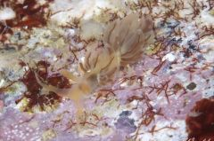 フウセンミノウミウシ属の一種 1
