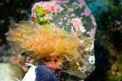 カンランウミウシ属の一種 2