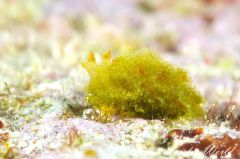 カンランウミウシ属の一種 1