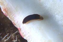 クロヒメウミウシ