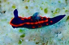 クロスジリュウグウウミウシ属の一種 3
