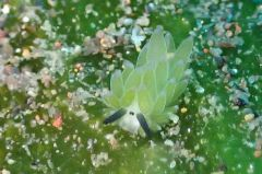 ホホベニミノウミウシ