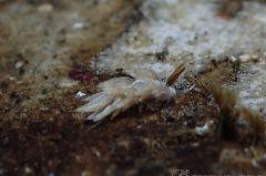 トモエミノウミウシ属の一種 7