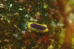 ルンキナウミウシ属の一種 4