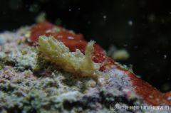フイリフサツノミノウミウシ
