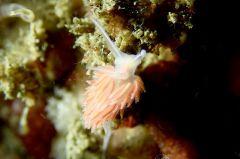 所属科不明のミノウミウシ類の一種 15