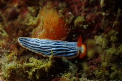 サメジマオトメウミウシ
