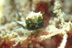 ホリミノウミウシ属の一種 14