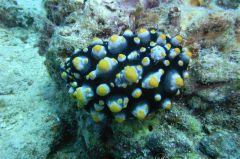 タテヒダイボウミウシ属の一種 2