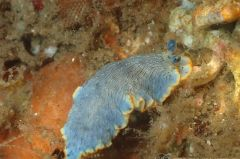 オセザキオトメウミウシ