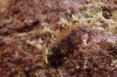 キャロットシードミノウミウシ