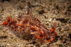 Plocamopherus tilesii