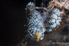 フジエラミノウミウシ属の一種 29