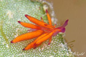 オレンジモウミウシ Hermaea sp. 1