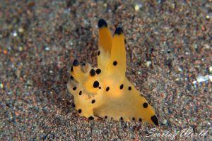 カンナツノザヤウミウシ Thecacera sp. 1
